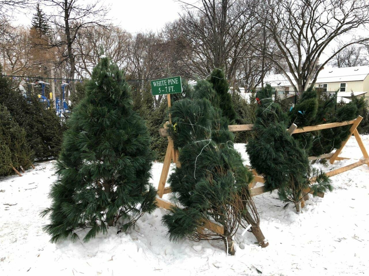 Christmas trees in Winnipeg, photo-2